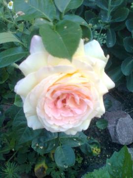 роза трёх цветов - Галина Ивановна Кулешова