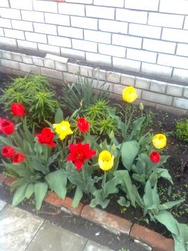 Тюльпаны - Галина Ивановна Кулешова
