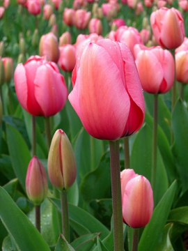 Тюльпаны...