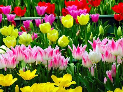 тюльпаны - Марина Анатольевна Аверина