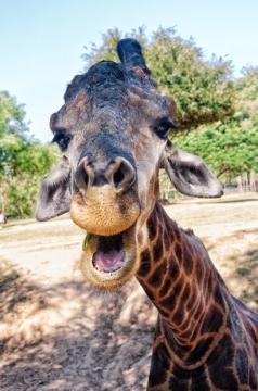 сиешной жираф