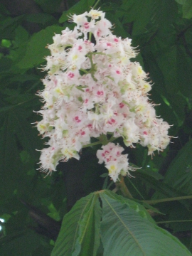 Цветок каштана