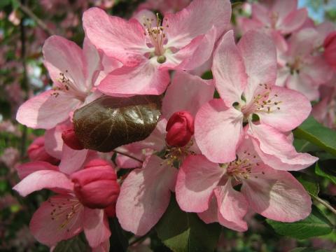 Розовая прелесть