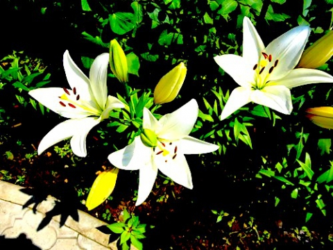 Мои лилии 2011