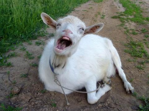 Смеющаяся Коза