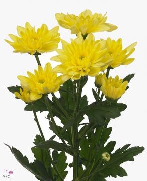 Жёлтые махровые хризантемы...