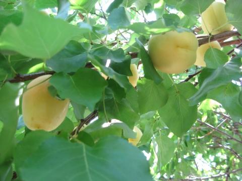 Ананасная абрикоса